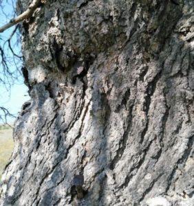 Ağaçlardaki Çiviler