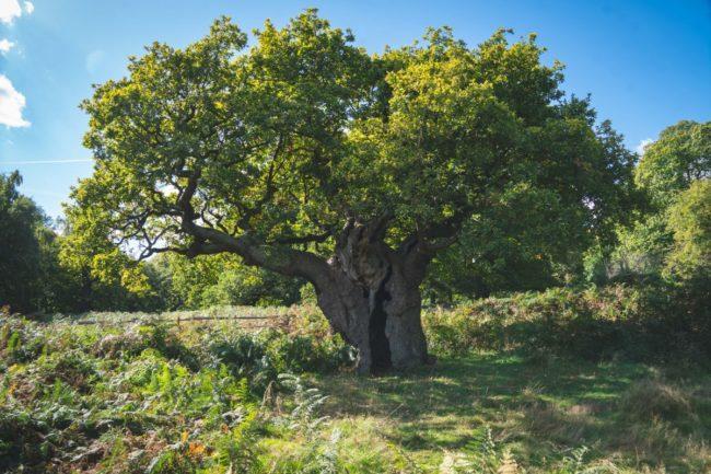 Ağaç ve Çivi Definesi, yaşlı ağaç