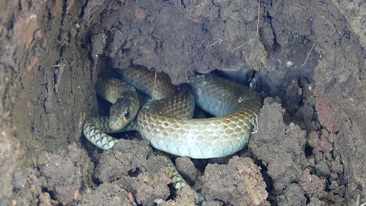 Define Kazarken Yılan, Akrep, Kurbağa vs. Diğer Hayvanların Çıkması